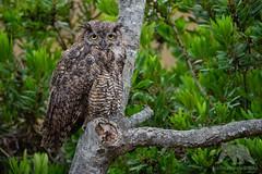 Great Horned Owl (fascinationwildlife) Tags: animal nature natur national park point reyes tree green wild wildlife great horned owl bubo virginia uhu vogel raptor raubvogel california usa america coast