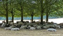 Veluwezoom, 22-7-2018 (kees.stoof) Tags: veluwezoom natuur nature schapen sheep bos landschap landscape