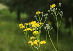 Daisies (Jose Rahona) Tags: flor flores flowers margaritas daisy campo field verde grass