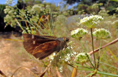 Skipper on yampah (TJ Gehling) Tags: insect lepidoptera butterfly hesperiidae skipper skipperbutterfly plant flower apiales apiaceae yampah yampa perideridia canyontrailpark elcerrito