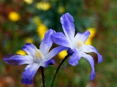 Purple Twins (Stanley Zimny (Thank You for 31 Million views)) Tags: flower botanical garden purple skylands nj twins