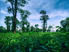Photo - 36 (Shahim Uddin Saba) Tags: shahimuddinsaba sky sylhet photography photos light landscape cloud clouds color tour tea garden tree green bangladesh