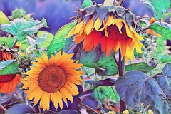 flowers-3 (paulahelit) Tags: yellow tall giant large annual cultivated beautiful disk rays petals blooms blossoms