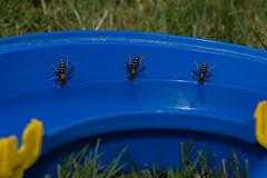 """Die drei von der """"Tankstelle"""" (Andy Gudera) Tags: insekten insects tiere animals wespe wasp"""