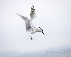 Sandwich Tern (pixellesley) Tags: sandwichtern bird birdwatching flying action motion feeding hunting ocean water beach visitor northumberland wild free lesleygooding sternasandvicensis