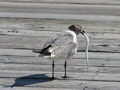 Laughing Gull vs Needle Fish