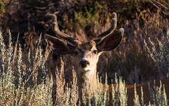 This buck heard the camera shutter and looked directly at me before running up the hill. (RS2Photography) Tags: colours pretty happy trending fauna floraandfauna animals eyes shadow canoneos eos camera flora tree yellow orange light day summer2018 4pointsierramuledeer 4pointbuck wildlife naturalbeauty bignose mule bigears getoutandexplore hiding brush rossstone stone ross flickrunofficial unofficial flickr outdoors sunrise morning new outside naturesbeauty nature deerbuck deer sierramuledeer buck fur hairy wild antler antlers muledeer sagebrush sage wildanimal animal animalplanet 80d canon80d canon cali california bigpine owensvalley sierranevada sierras