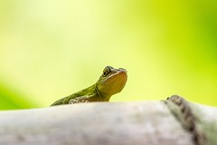 Lezard - Lizard (Giloustrat) Tags: k3 pentax republic dominican green