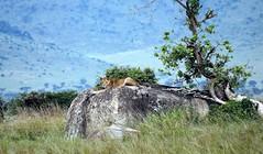 i see you (tor-falke) Tags: africa afrika afrique african africalandscape afrikanwildlife lion löwe safari fotosafari photosafari serengeti tansania nationalpark outdoor felsen flickrtorfalke flickr torfalke schön nice impressive beautiful wild wildlife frei natur nature ngc