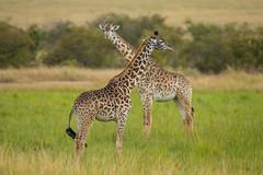 Giraffes (Mujtaba Hussain Shah) Tags: tower giraffes longnecks tallestofthemall herbivore ngc npc wildlife african kenya africa safari foliage acaciatree masai giraffe wildanimalsphotography criticallyendangered gamedrive coth nature camelopardalis tippelskirchii kilimanjaro maasai jaggedspots exceptionaleyesight subsonicvocalization largestbodied giraffa perfectshot graceful beauty playfights exotic marareserve greenery naturelovers landscape goldenhour sunset wildsafari goldenlight spotted giantgiraffes together sunrise