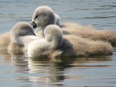 Cygnets! ('cosmicgirl1960' NEW CANON CAMERA) Tags: cygnets young juvenile chicks babies swans white downy water nature llanfairfechan cymru wales snowdonia eryri gwynedd north yabbadabbadoo
