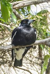 Magpie, aka Maggie... (Anni - with camera) Tags: gymnorhinatibicen magpie australian parks gardens forest bushland 1000 lumixfz1000