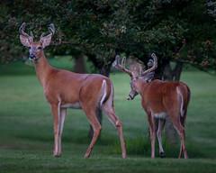 MinutesToMemories (jmishefske) Tags: greenfield nikon d500 milwaukee velvet antler wildlife westallis rack wisconsin 2018 july park buck whitetail county deer