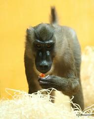 Drill / Mandrillus leucophaeus (innmedia) Tags: affen monkeys singes scimmie apen monos tierfoto tierfotografie tierfotos tiere tier animalphotograpfie animal animals zoo tierpark hellabrunn mandril innmediafoto