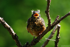 Mooooom!!! (Vie Lipowski) Tags: americanrobin turdusmigratorius juvenilerobin chick bird songbird babybird morninglight tree branch backyard wildlife nature