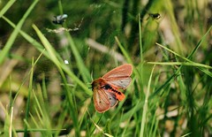 """Ruby Tiger Moth """"Phragmatobia fuliginosa"""" (andrewmckie) Tags: rubytigermoth ruby tiger moth glasdrum glasdrumwood argyleandbute argyle scottishwildlife scotland scottish wildlife moths insects phragmatobiafuliginosa"""
