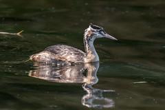 Great crested grebe (pstani) Tags: england europe greatbritain london podicepscristatus regentspark bird fauna greatcrestedgrebe grebe