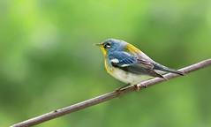 Tiny Delight (Ania Tuzel Photography) Tags: warbler canon 400mm birds ny newyork songbird perch northern parula