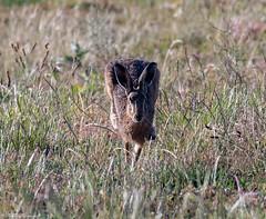 Brown Hare head on (Steve (Hooky) Waddingham) Tags: stevenwaddinghamphotography animal countryside nature wild wildlife run fast