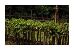 Out of Control (TuthFaree) Tags: foxfire ga georgia rustic garden primitive fence rail picket fencefriday hff appalachia northga 7dwf