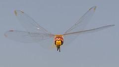 Dragonfly (Kevin E Fox) Tags: dragonfly flight flying insect bug nature nikond500 bombayhookwildliferefuge bombayhook d500 delaware sigma150600sport sigma