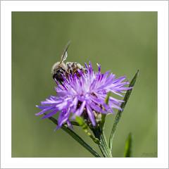 Début d'une journée de travail (Francis =Photography=) Tags: insecte insecta anthophila animal animalia fleur pollen abeille bee insect bienen