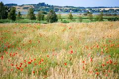 Wiese auf den Hügeln von Gager (Corno3) Tags: pentaxauto110 wiese ostsee mohn sommer mönchgut kornblumen bodden gager natur rügen mecklenburgvorpommern deutschland de