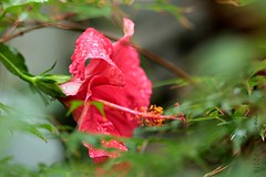 CHINESE ROOS IN REGEN & WIND || HIBISCUS IN WIND & RAIN (Anne-Miek Bibbe) Tags: regen rain chineseroos hibiscus hibiscusrosasinensis rood rouge red rot rosso rojo vermelho tuin garden jardin giardino jardim natuur nature bloei bloemen flowers flor flores bloom blumen fleur fleurs fiori fioritura canoneos700d canoneosrebelt5idslr annemiekbibbe bibbe nederland 2018