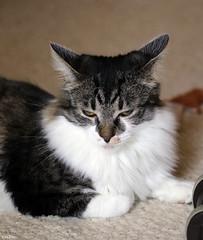 """If it's not the vacuum making noise it's the lawn mower!"" (Lisa Zins) Tags: cat kittens kittenface face petsandanimals pets animals tabby elijah feline dmh lisazins tn tennessee"
