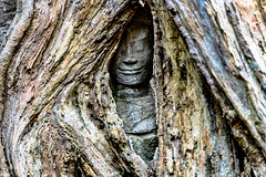 A Small Part of an Image of Buddha Is Seen between Opening of Roots Covering the Ta Prohm Temple, Cambodia-37a (Yasu Torigoe) Tags: sony a99ii a99m2 sonyilca99m2 siemreap siem reap angkor archeological archeology park history ancient architecture temple religion religious buddhism buddhist buddha historical ta prohm taprohm jungle trees tree tombraider banyan tomb crypt laracroft lara croft suryavarman vishnu stonework buildings surreal sculpture structure deityroots landscape overgrown vines art theravada photograph photography dynamic travel asia cambodia southeast deity ruins khmer roots