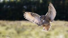 Eagle Owl_T3W2064 (Alfred J. Lockwood Photography) Tags: alfredjlockwood nature raptor eagleowl bokeh flight landing crc canadianraptorconservancy ontario canada autumn morning