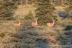 A trio of Mule Deer does in the forest