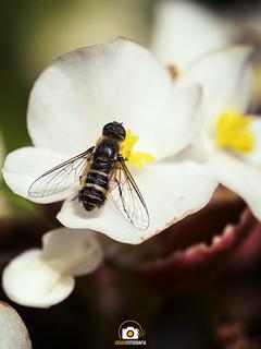 Bees ... Abeja