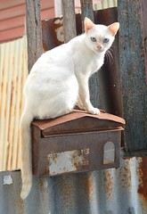 cat on a malbox (the foreign photographer - ฝรั่งถ่) Tags: white cat mailbox khlong thanon bangkok bangkhen nikon d3200