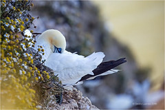 Powernapping (Sandra Lipproß) Tags: nature bemptoncliffs northerngannet outdoor wildlife bird birding birdwatching uk england yorkshire basstölpel vogel animal tier explore
