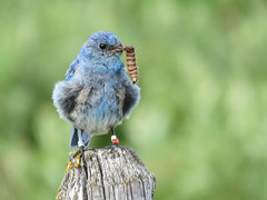 Hard working Dad (annkelliott) Tags: alberta canada swofcalgary nature wildlife ornithology avian bird birds bluebird mountainbluebird sialiacurrucoides turdidae sialia male adult frontview blue migratory perched scruffy dishevelled fencepost food foodforhisbabies insect lava field grass bokeh outdoor summer 5august2018 canon sx60 canonsx60 annkelliott anneelliott ©anneelliott2018 ©allrightsreserved