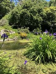 Japanese Pond, 1939. (Melinda * Young) Tags: plants lantern stone japanese memorial 1939 ggie goldengate treasureisland exposition ucbg botanicalgarden berkeley uc iris waterlily stonelantern htmt aquatic algae