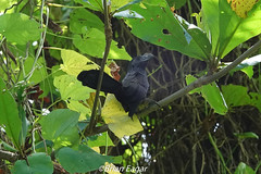 Smooth Billed Ani (brian eagar - very busy - not much time to comment) Tags: bird jamaica wildlife nature animal smoothbilledani ani jamaicabird