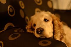 Añoranza (pcoradini) Tags: perro cocker spaniel mascota rosario ciudad argentina provincia santa fe animal pet dog sillón armchair house casa relax macro nikon d3100 50 mm