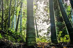 Amber (Melissa Maples) Tags: batumi batum ბათუმი adjara აჭარა georgia gürcistan sakartvelo საქართველო asia 土耳其 apple iphone iphonex cameraphone მწვანეკეპი mtsvanecape ბოტანიკურიბაღი botanicalgarden bamboo trees forest sunflare lensflare flare