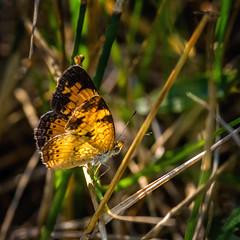 Light Snatcher (Portraying Life, LLC) Tags: dbg6 da3004 hd14tc k1mkii michigan pentax ricoh unitedstates butterfly closecrop handheld nativelighting meadow weeds thatch golden hideout