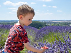 Making The Cut (CJD imagery) Tags: canonefs18135mmf3556isstm canoneos80d memories outdoors bokeh clouds sky summer bst britishsummertime lavender family child son boy portrait cadwellfarm hitchinlavender hertfordshire hitchin england gb greatbritain uk unitedkingdom