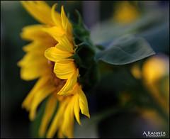 Sunflower... (angelakanner) Tags: canon70d lensbaby composerpro sweet50 garden longisland closeup bokeh