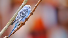 Blue Bird - 5570 (ΨᗩSᗰIᘉᗴ HᗴᘉS +19 000 000 thx) Tags: bluebird bird oiseau buse color bokeh hensyasmine namur belgium europa aaa namuroise look photo friends be wow yasminehens interest intersting eu fr greatphotographers lanamuroise tellmeastory flickering