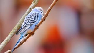 Blue Bird - 5570