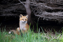 Trouble (Megan Lorenz) Tags: redfox fox foxkit kit babyanimals animal mammal vulpesvulpes nature wildlife wild wildanimals newfoundland canada mlorenz meganlorenz