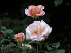 17Jun18 Three Roses (Daisy Waring World) Tags: roses peachroses