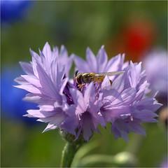 zweefvliegje (atsjebosma) Tags: summer zomer zweefvlieg colourful kleurrijk atsjebosma thenetherlands july juli 2018 bloem purple