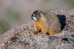 Yellow-bellied marmot (fascinationwildlife) Tags: animal mammal yellow bellied marmot murmeltier rock rocky mountains colorado usa america berge wild wildlife nature natur summer cute morning
