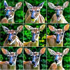 2018.07.23 Deer Mashup (Brunswick Forge) Tags: 2018 virginia summer wildlife outdoors outdoor animal animals animalportraits nature grouped favorited metaphotography